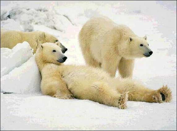 election_bears.jpg